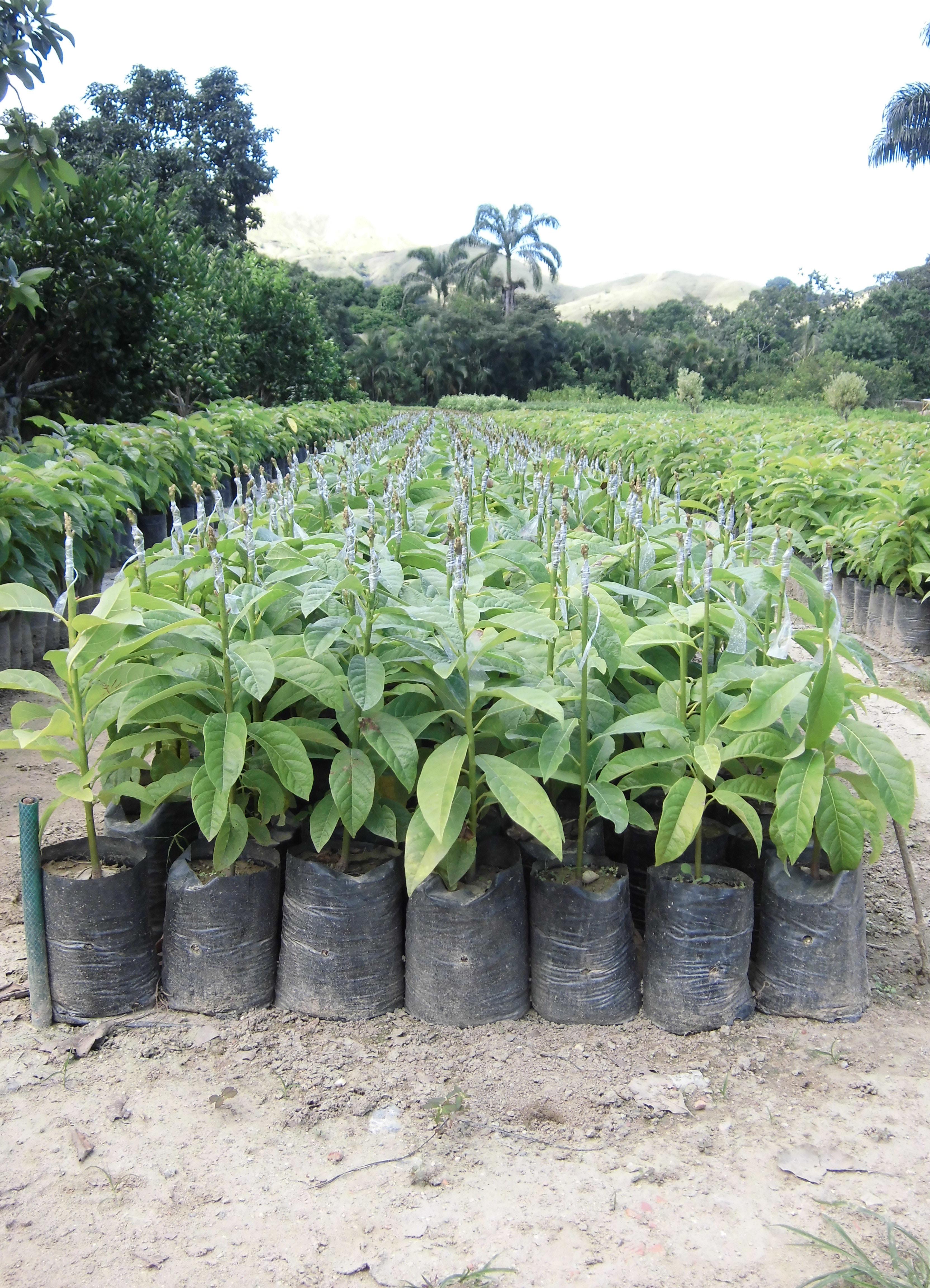 Plantas frutales agro vivero los manolos c a for Plantas frutales